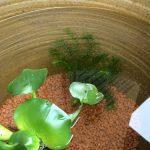 メダカと相性の良い水草はホテイソウ一強の時代に突入した